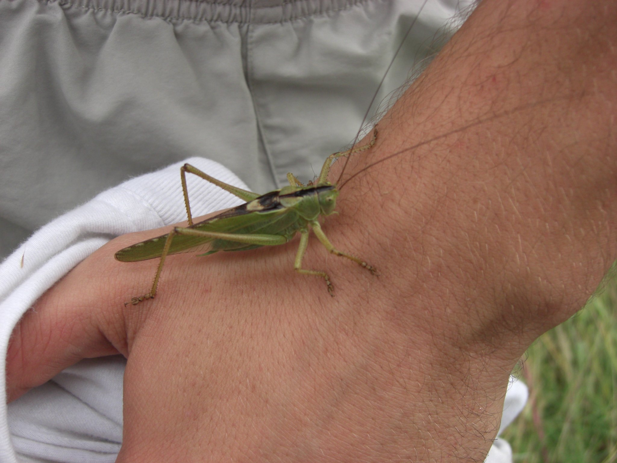 Tettigonia virdissima (Grande sauterelle verte)